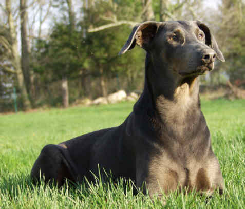 Blue Doberman Petie - Photo
