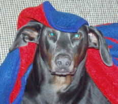 Blue Doberman Petie Advice and Tips