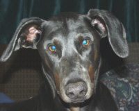 I am all ears.  Blue Doberman Petie