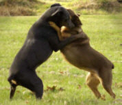 Two dogs hugging.  Photo